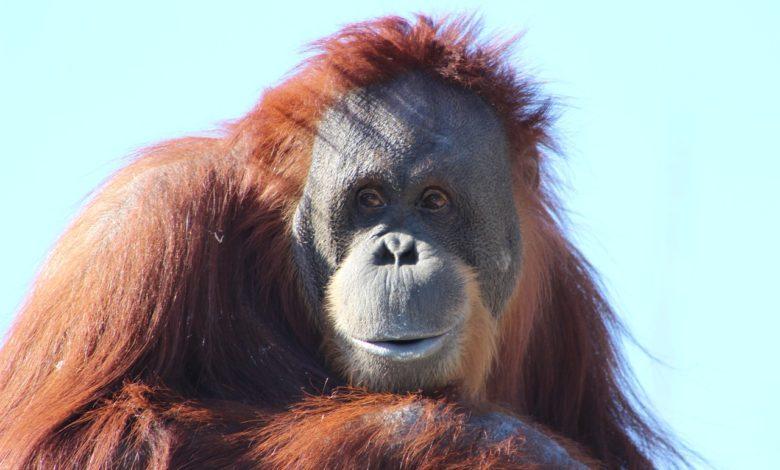 Giornata Mondiale Orango