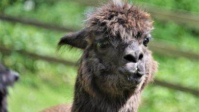 alpaca Geronimo