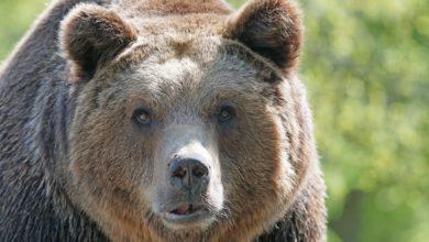 automobilista insegue orso interviene WWF