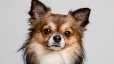 chihuahua Amon vince premio fedeltà cane
