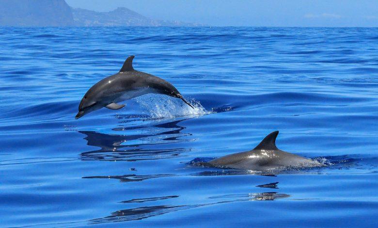 delfini salvano nuotatore disperso