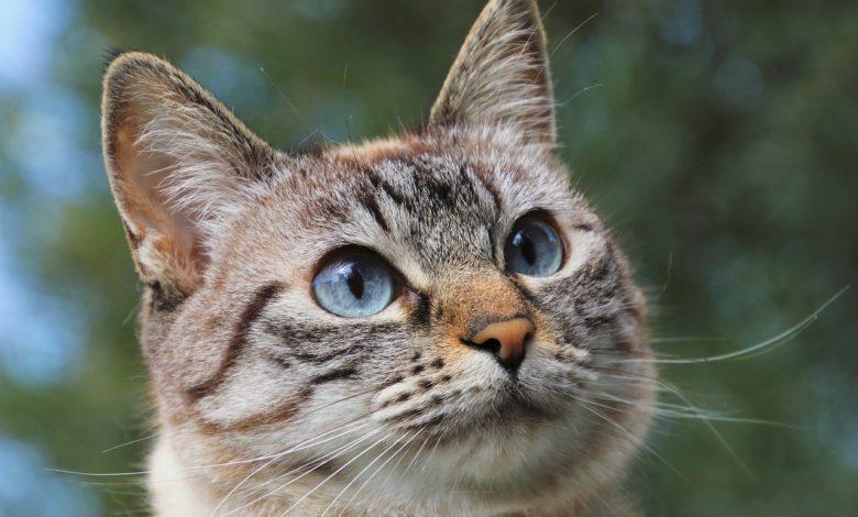 epilessia gatto