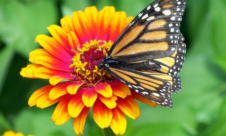 farfalla monarca migra in cattività