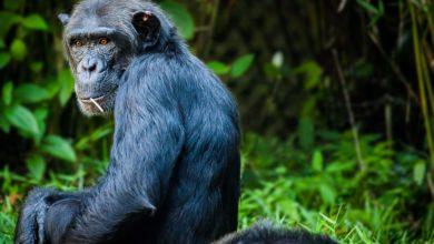 morta Judy scimpanzé più anziana Europa