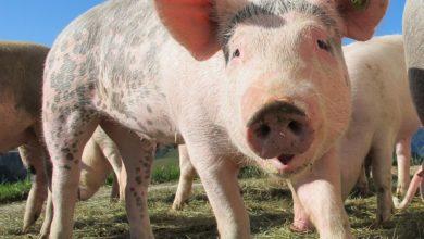 norma benessere animali bacon