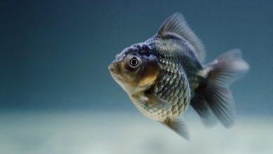pesci ultra neri nuove specie