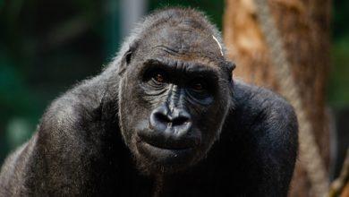 Covid gorilla contagiati zoo Atlanta