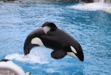 orca tenta suicidio secondo gli animalisti
