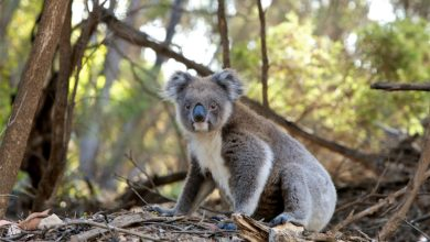 koala rischio estinzione Australia emergenza clima