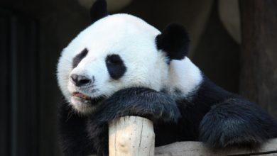panda gigante partorisce Madrid