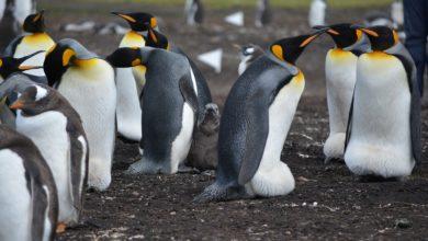 pinguini morti sciame api