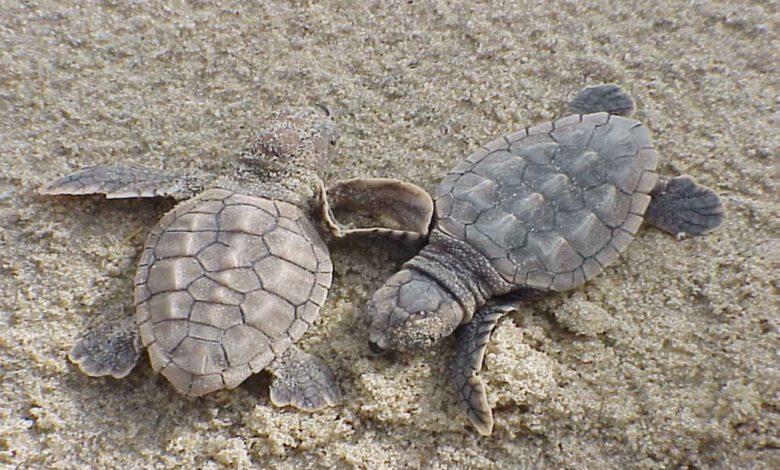 tartarughe nate a Jesolo