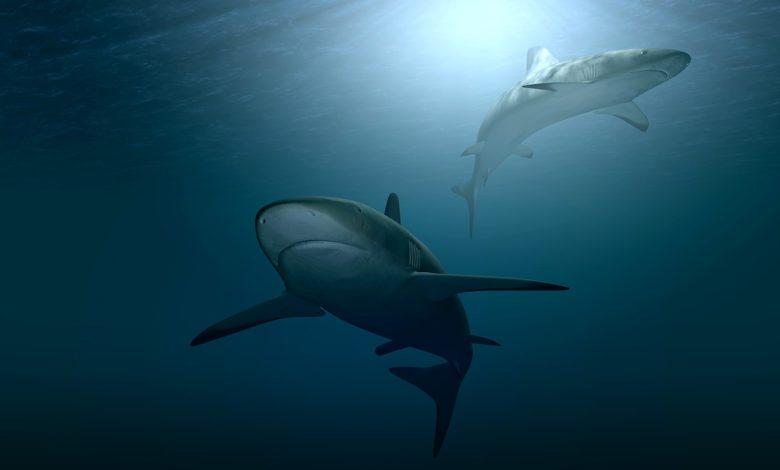 trovato squalo porco