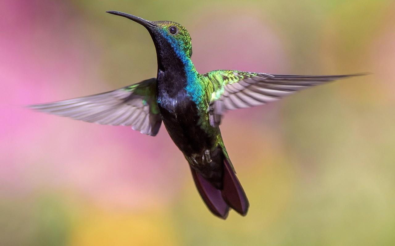 colibrì olfatto sviluppato