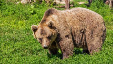 donna incontra orso arrestata