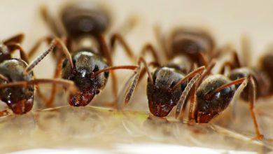 formiche parassitismo sociale