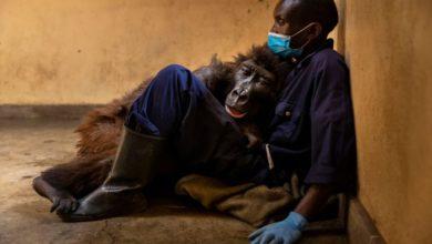 gorilla selfie muore abbracciata uomo