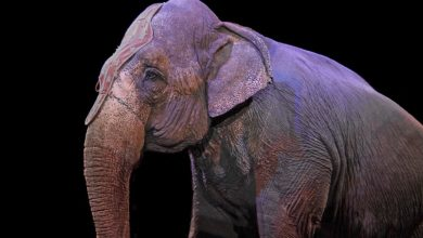 morta Andra elefantessa Circhi
