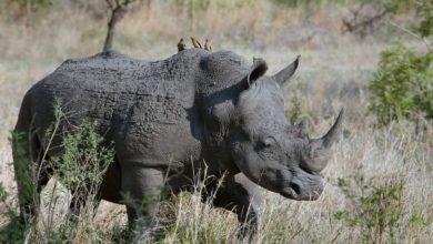 morto Toby rinoceronte più anziano del mondo
