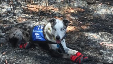 premio Bear cane eroe incendi Australia
