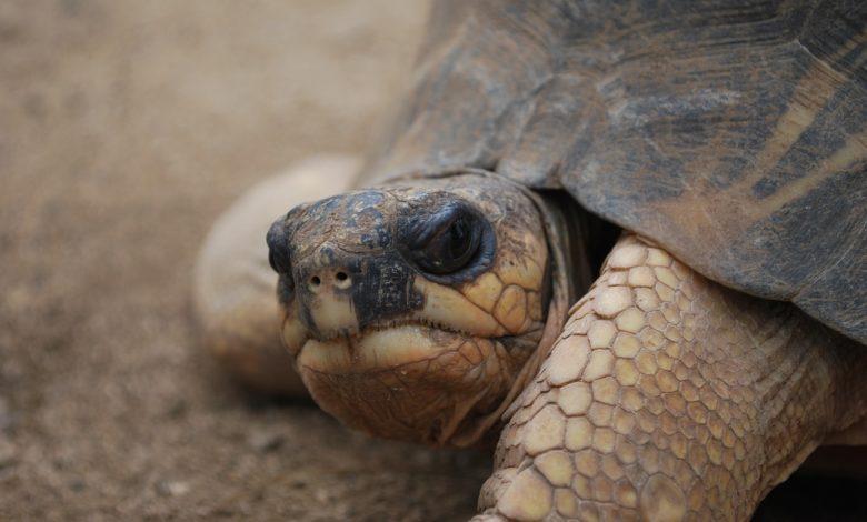 tartaruga gigante tangenziale Salento